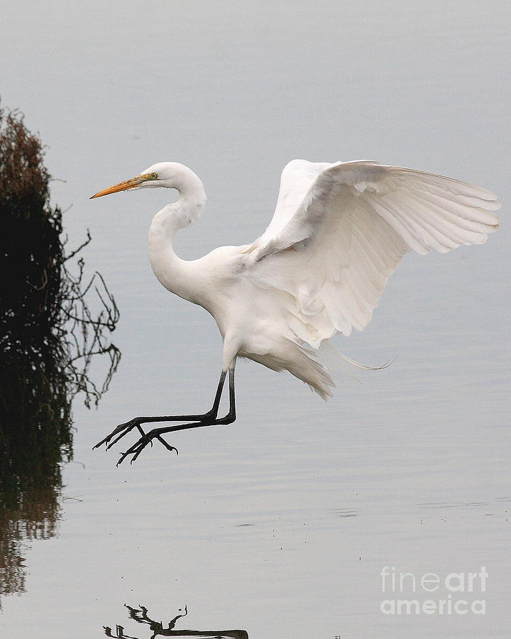 Great White Egret Landing On Water Photograph