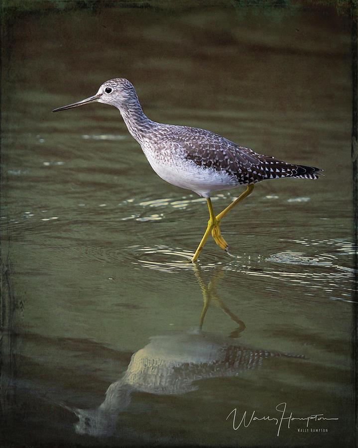 Greater Yellowlegs - 4410,st Photograph