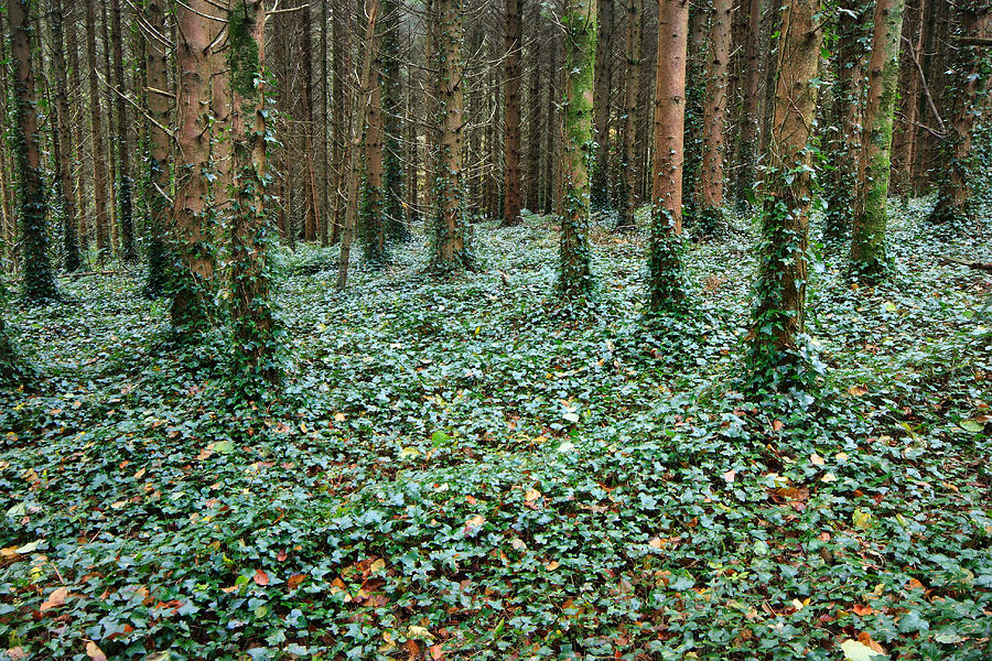 Green Ivy Forest Floor Photograph by Pierre Leclerc ...