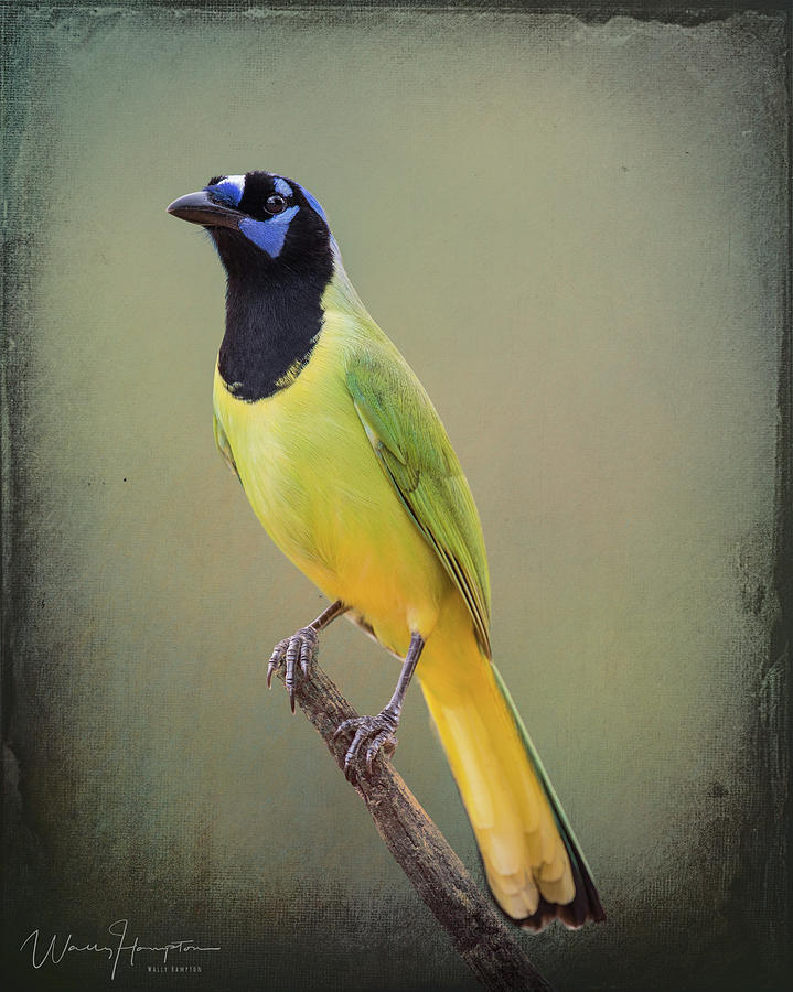 Green Jay - 6755,st Photograph