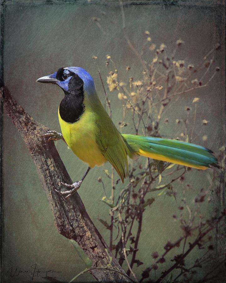Green Jay - 6991,bes Photograph