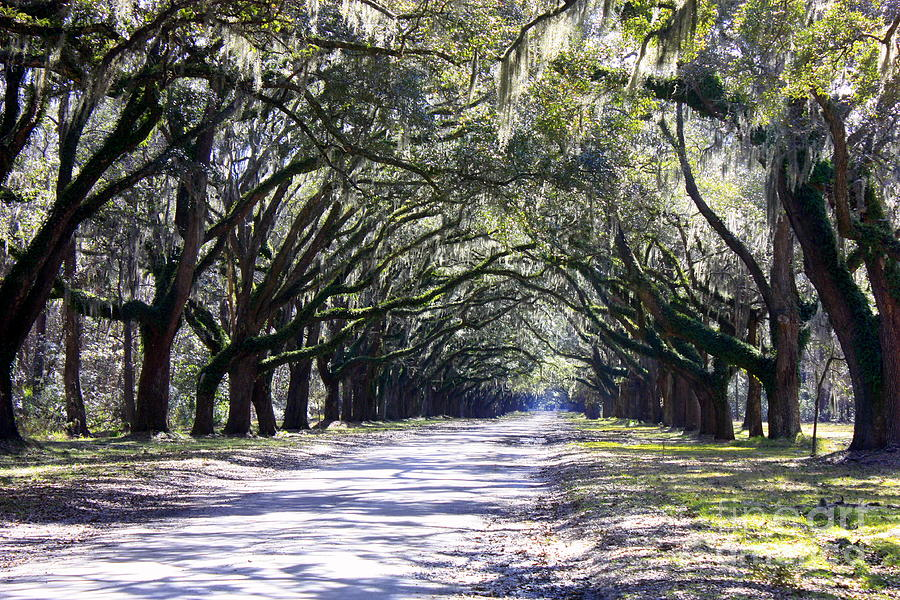 Live Oaks Photograph - Green Lane by Carol Groenen