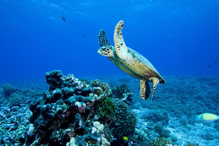 One Animal Photograph - Green Sea Turtle Chelonia Mydas by Tim Laman