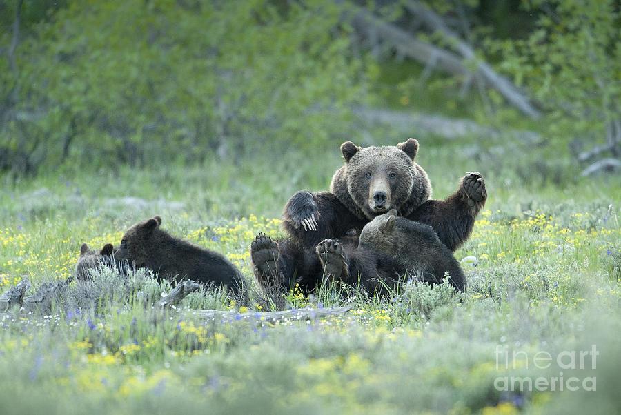 Bears Photograph - Grizzly Romp - Grand Teton by Sandra Bronstein