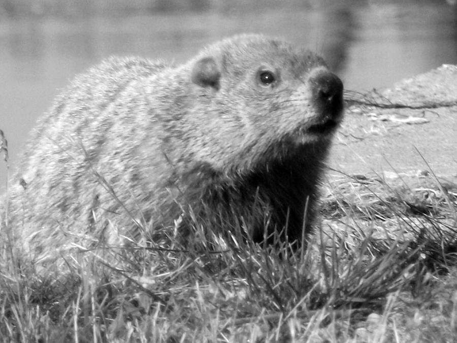 This Is A Photograph Of A Groundhog I Took While Visiting My Grandparents In Ontario Photograph - Groundhog by Erika Kennedy