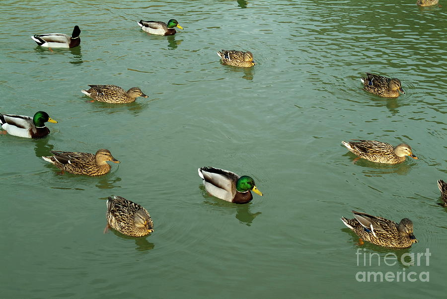 Animal Photograph - Group Of Male And Female Ducks On The Water by Sami Sarkis