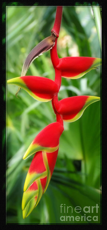Heliconia Photograph - Hanging Tropical Splendor by Sue Melvin