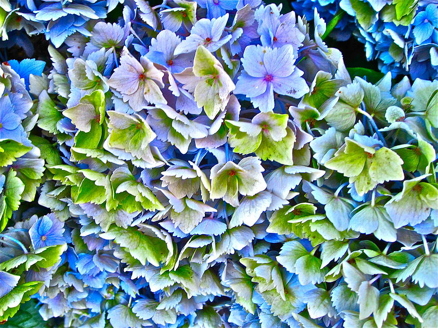 Hanson Hydrangea Photograph