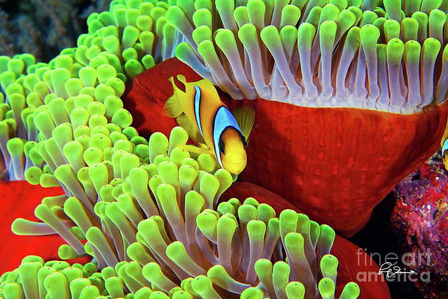 Happy Clown Fish Photograph