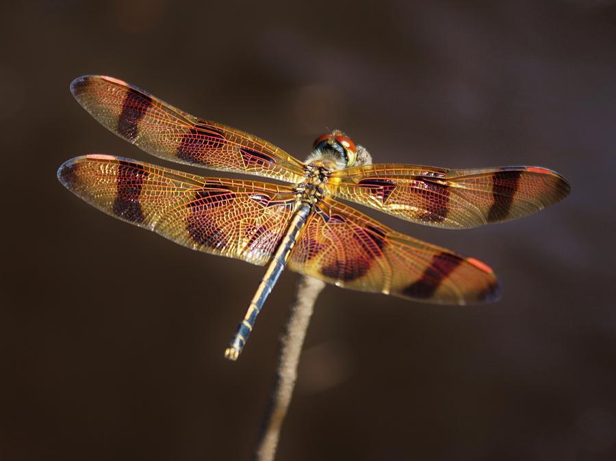 Halloween Pennant Dragonfly Photograph - Happy Halloween by Lynda Dawson-Youngclaus