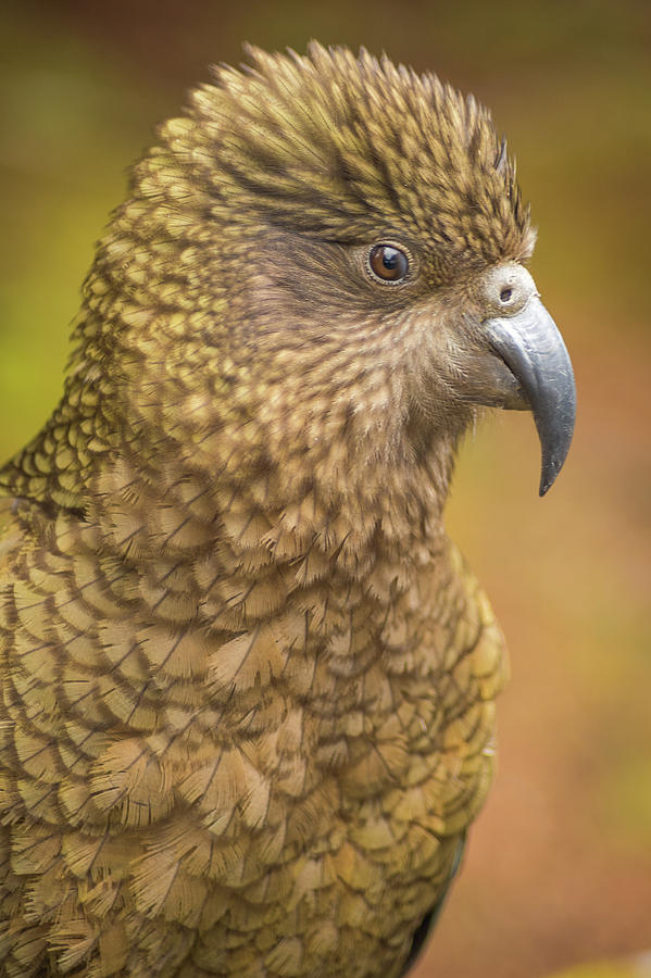 Happy Kea Photograph
