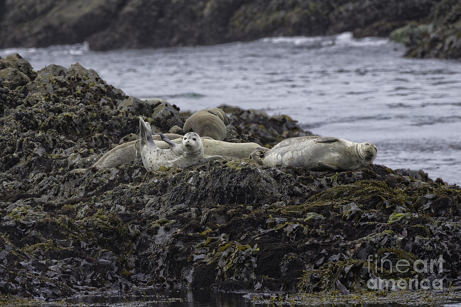 Harbor Seals Awake Photograph