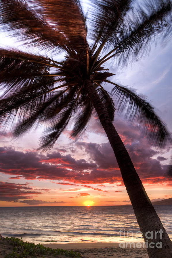 Hawaiian Coconut Palm Sunset Photograph