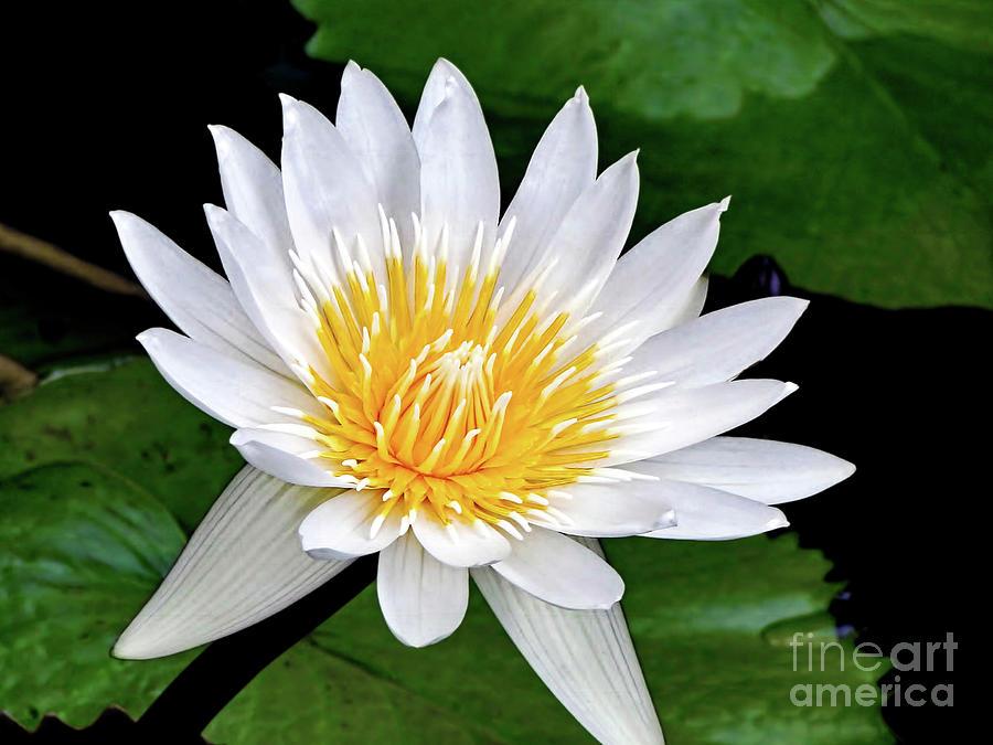 Hawaiian White Water Lily Photograph
