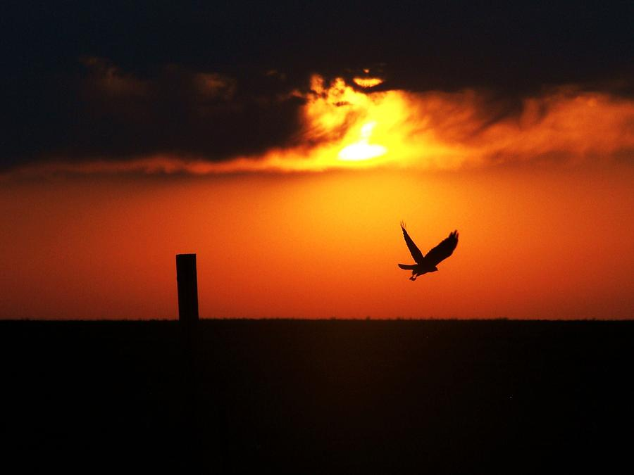 Hawk Rising With The Sun Photograph
