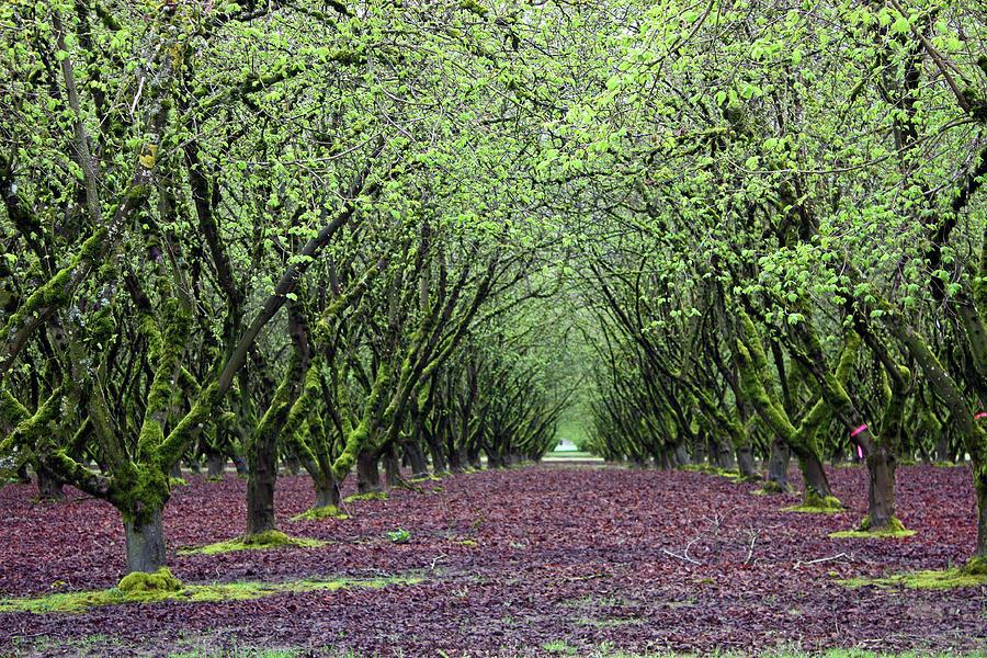 hazel-nut-orchard-kami-mckeon.jpg