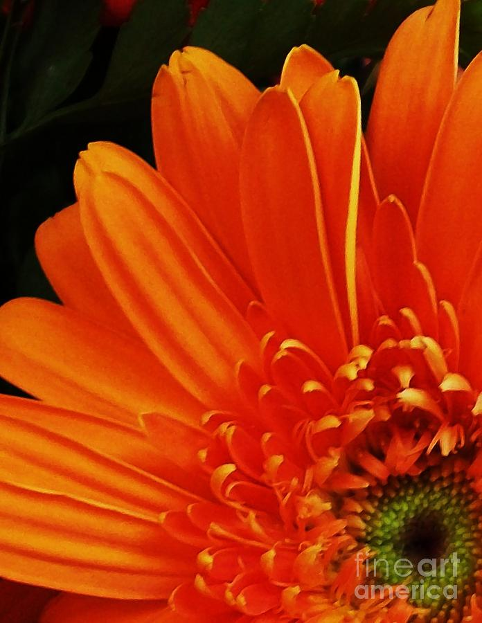 Gerber Daisy'orange Photograph - Head Dress by Marsha Heiken