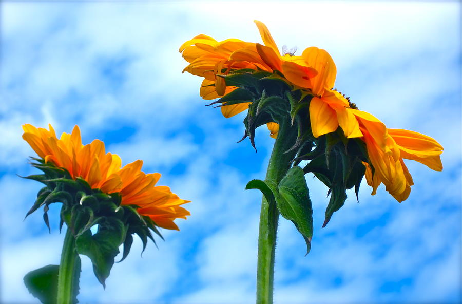 Photograph Of Sunflowers Photograph - Heaven Above ... by Gwyn Newcombe