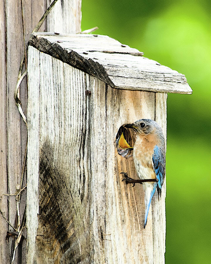 Eastern Bluebird Photograph - Hello Baby by Betty LaRue