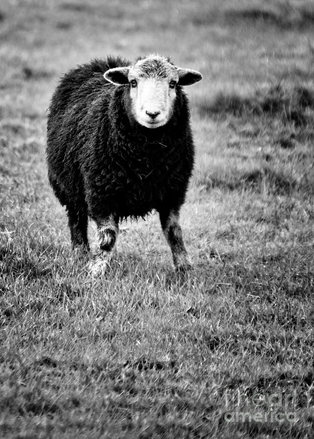 Sheep Photograph - Herdwick Sheep by Meirion Matthias