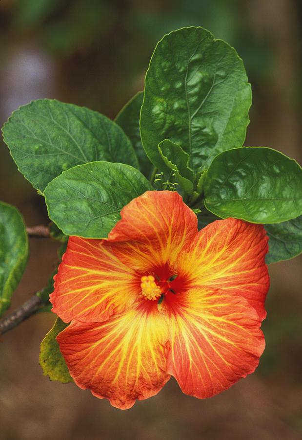 Allan Seiden Photograph - Hibiscus by Allan Seiden - Printscapes