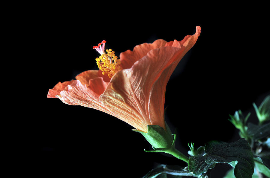 Hibiscus Photograph - Hibiscus Vein by Terence Davis