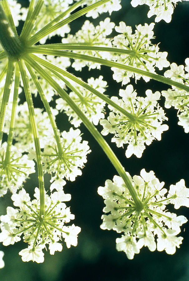 Flower Photograph - Himalayan Hogweed Cowparsnip by American School