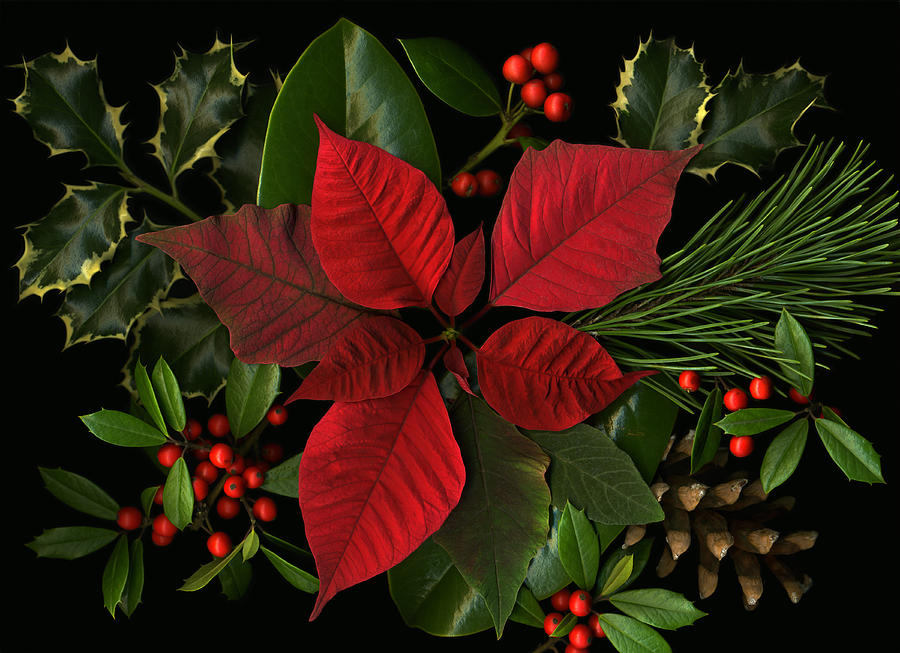 Poinsetta Photograph - Holiday Greenery by Deborah J Humphries
