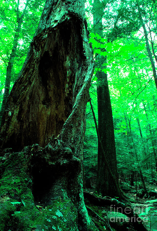 Hollow Maple Tree Photograph