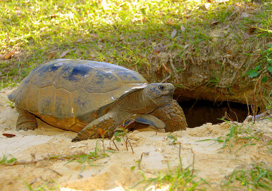 Gopher Tortoise Photograph - Home Sweet Burrow by David Lee Thompson