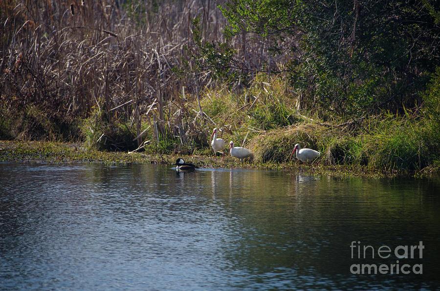 Hooded Merganser Duck Photograph