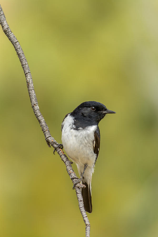 Hooded Robin Photograph