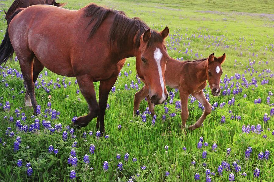 Horizontal Photograph - Horse On Bluebonnet Trail by David Hensley