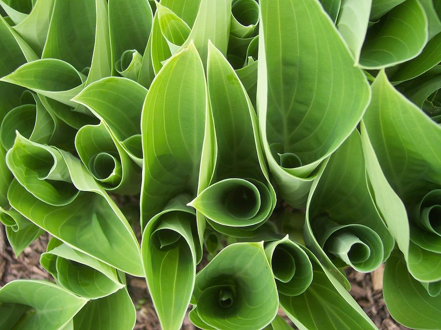 Hostas Leaves Circles Green Garden Photograph - Hostas 4 by Anna Villarreal Garbis