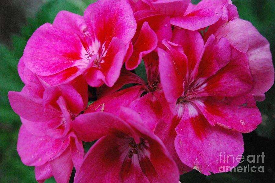 Sharen Duffing Framed Prints Framed Prints Photograph - Hot Pink Geranium by Sharen Duffing