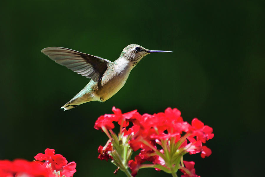 Hummingbird Photograph - Hovering Hummingbird by Christina Rollo