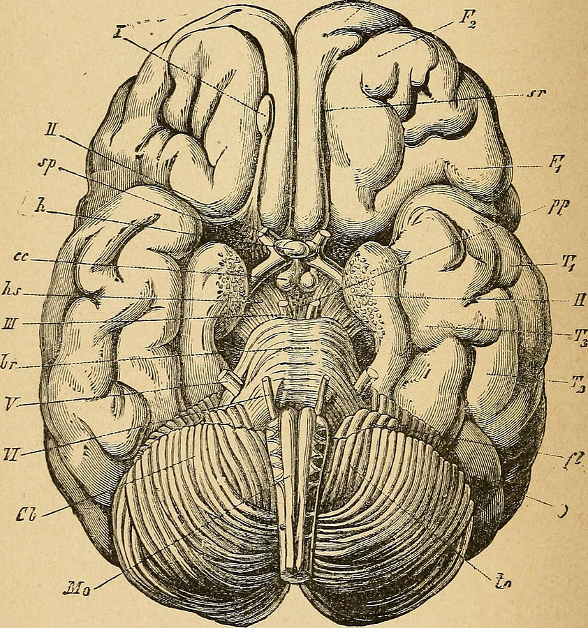 Human Brain Diagram Drawing by FL collection