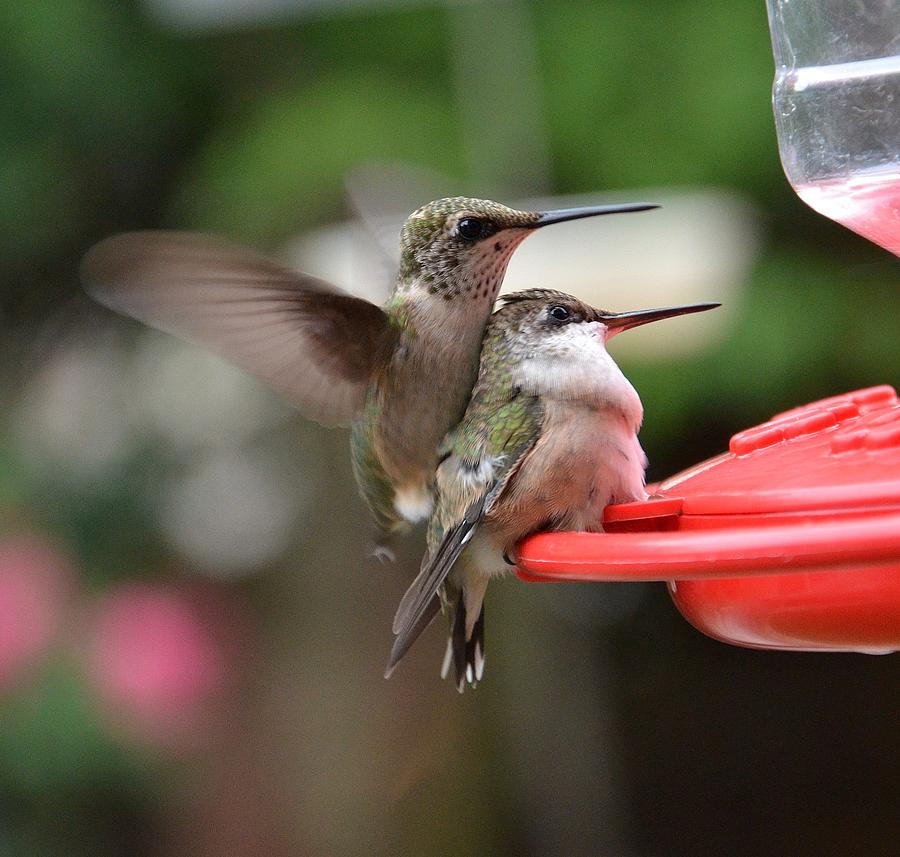 Hummingbird Babies Photograph by Dorrie Pelzer