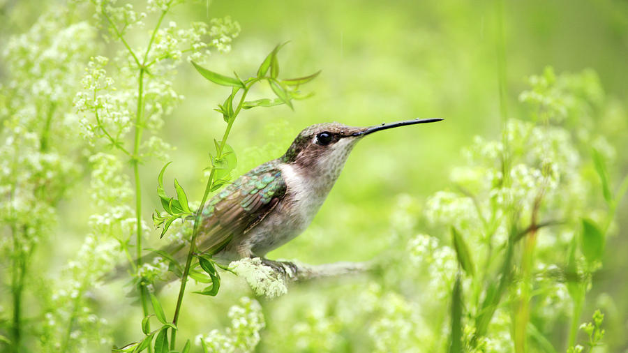 Hummingbird Hiding In Flowers Photograph