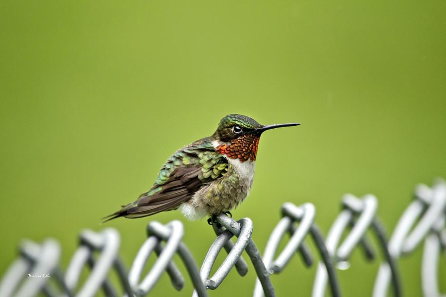 Hummingbirds Photograph - Hummingbird On A Fence by Christina Rollo