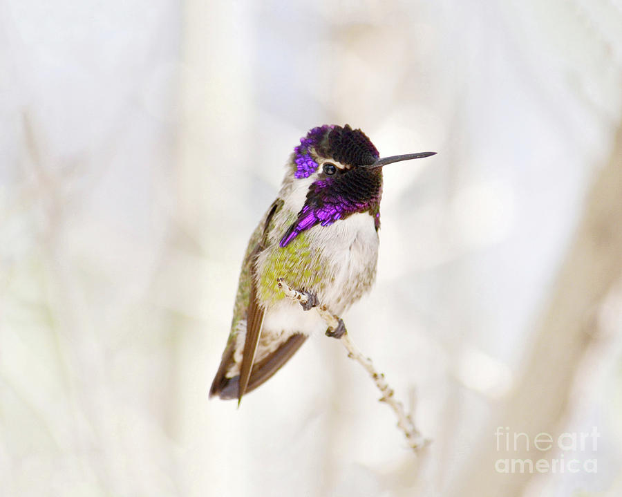 Hummingbird Photograph - Hummingbird by Rebecca Margraf