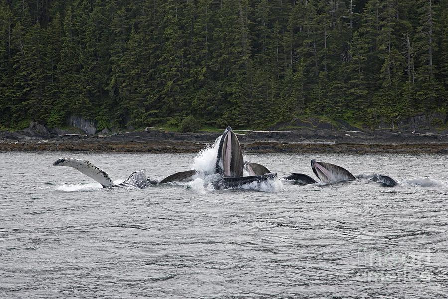Whale Photograph - Humpbacks Bubble Net Feeding by Tim Grams