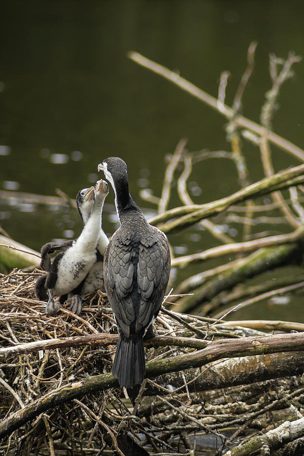 Hungry Pied Shag Chicks Photograph