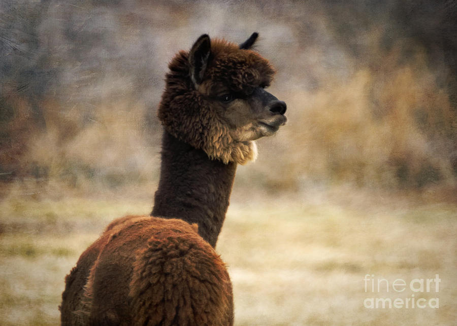 hunter alpaca herd sire by janice pariza royalty free and rights managed licenses. Black Bedroom Furniture Sets. Home Design Ideas