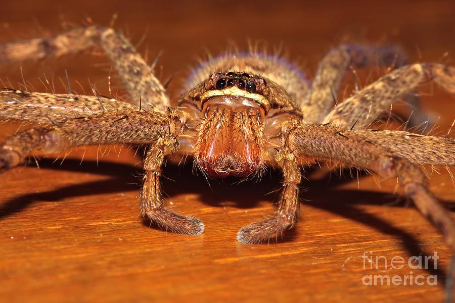 Amed Photograph - Huntsman Spider by Joerg Lingnau