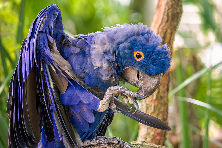 Hyacinth Macaw is a photograph by Rob Sellers which was uploaded on ...