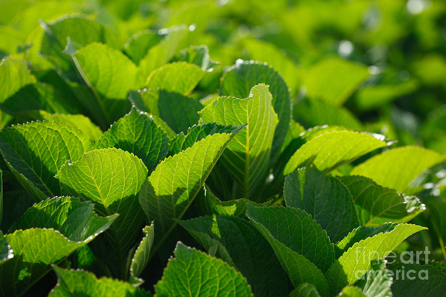 Foliage Photograph - Hydrangea Foliage by Gaspar Avila