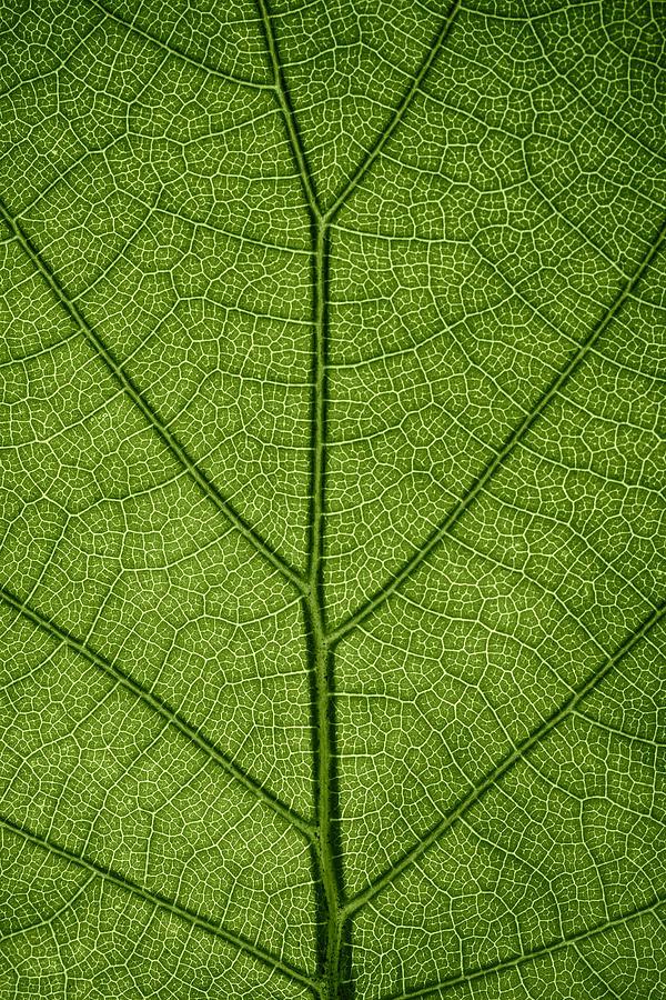 Gadomski Photograph - Hydrangea Leaf by Steve Gadomski
