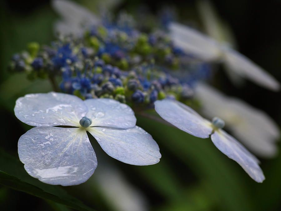 Flower Photograph - Hydrangea Macrophylla by Juergen Roth