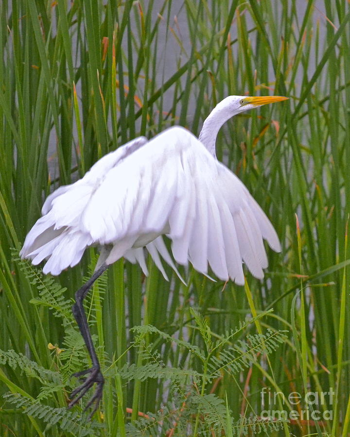 Egret Photograph - I Am Out Of Here by Carol  Bradley